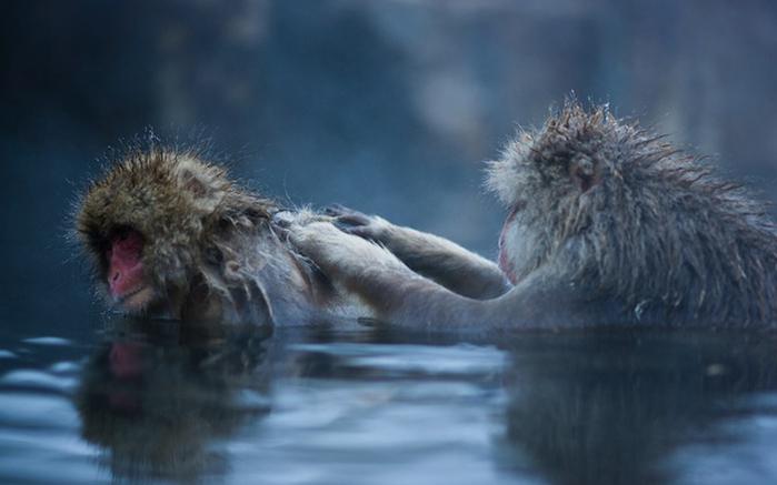 японские макаки купаются в горячих источниках Джигокудани 6 (700x437, 177Kb)