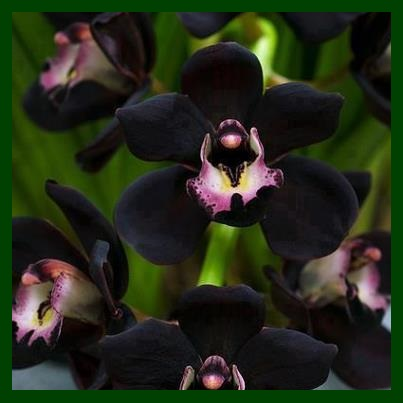 Black-Orchid (403x403, 35Kb)