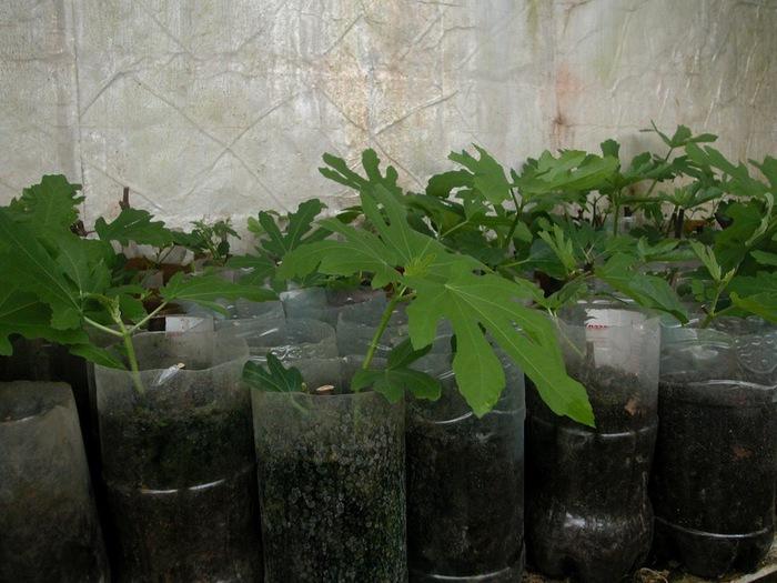 Инжир выращивание в домашних условиях в украине