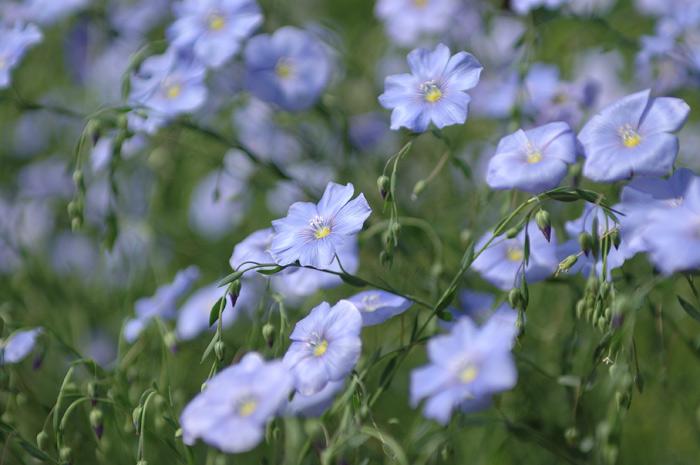цветущий лен фото