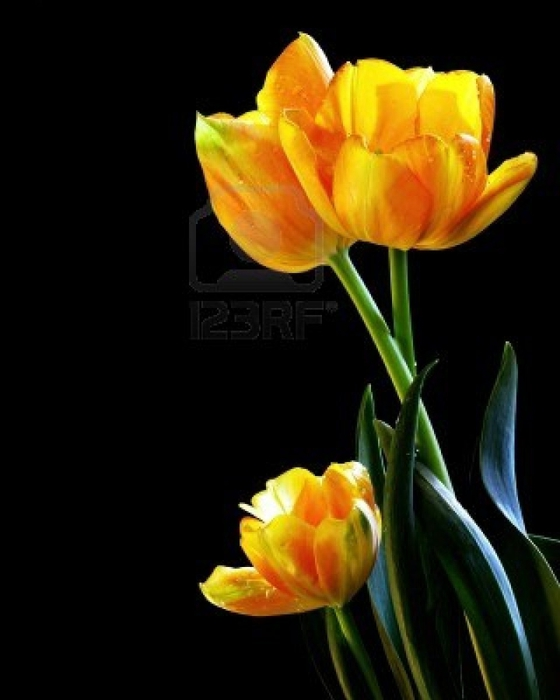 5489528-beautiful-fresh-tulips-photograph-on-black-background (560x700, 130Kb)
