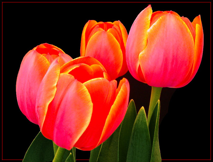 58172320_40062018_TULIPS_FOUR_by_THOM_B_FOTO (700x533, 107Kb)