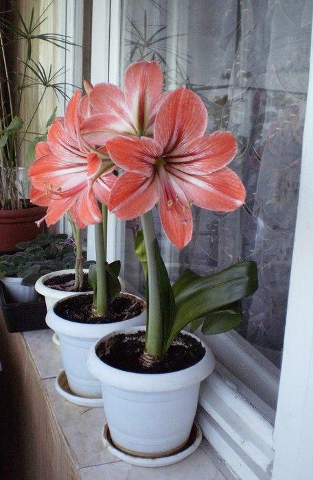 Фото цветы похожие на лилии на толстом стебле