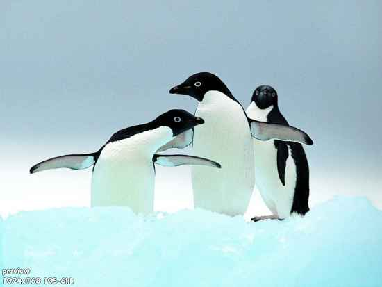 116573909257_penguins_1024-small (550x413, 10Kb)