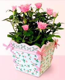 уход и выращивание розы в комнатных условиях