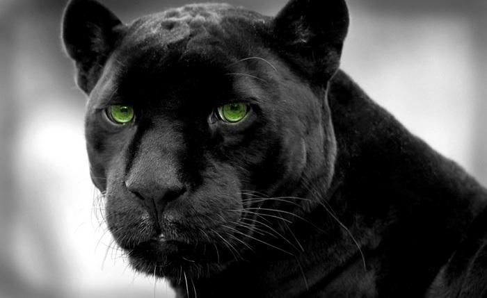 фото багира черная