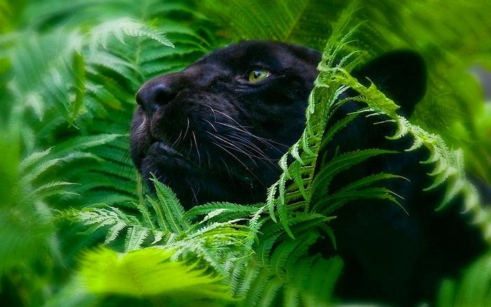 Относительно своих размеров, Black panther являются очень мощными.  У них часто добычей является животное...