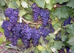 sazhency_vinograda (250x181, 16Kb)