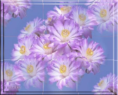 Сиреневые-цветы-кактуса (455x369, 263Kb)