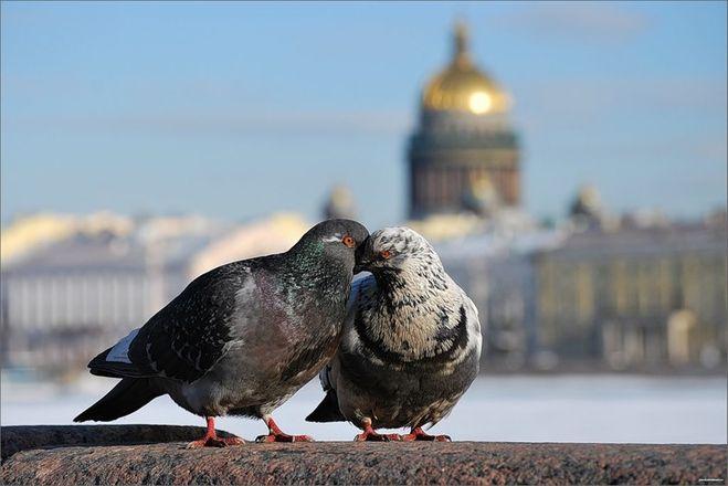 подснежники голуби (659x440, 39Kb)