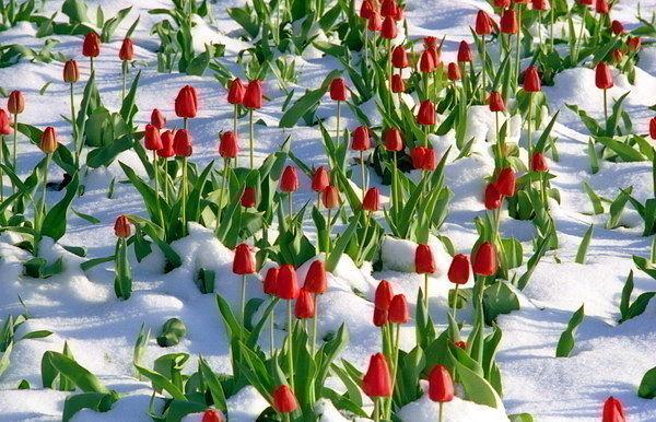 тюльпаны в снегу (600x386, 88Kb)