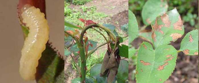волокна полиамида борьба с болезнями роз упомянуть, что отличие