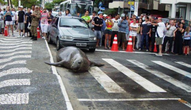 морской лев на улице в бразилии (640x370, 56Kb)