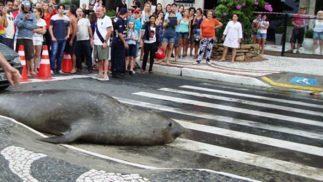 морской лев на улице в бразилии 2 (640x362, 57Kb)