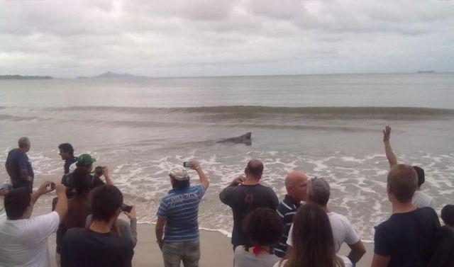 морской лев на улице в бразилии 4 (640x377, 27Kb)