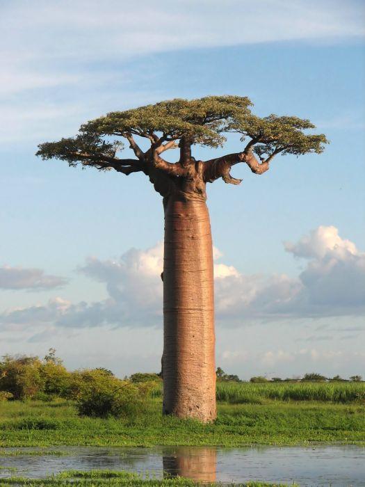 baobab_E (525x700, 52Kb)
