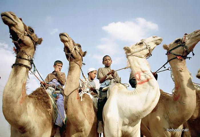 Верблюды (700x479, 55Kb)