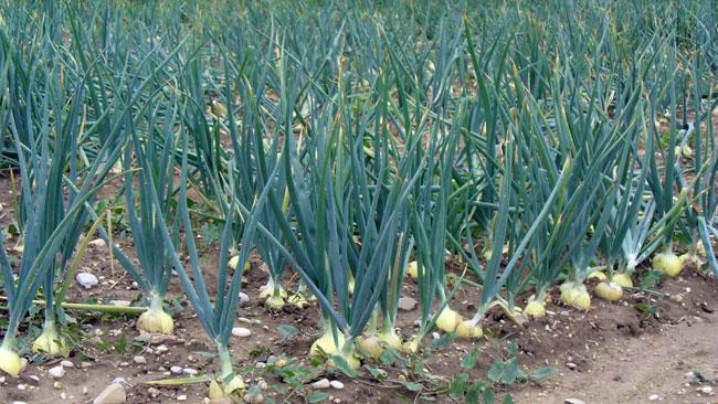 onion (650x366, 108Kb)