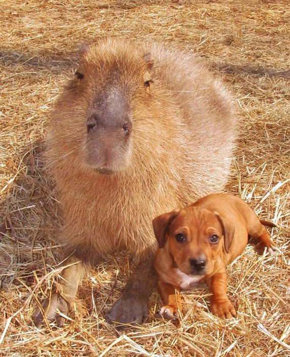 капибара и щенки фото 1 (569x700, 250Kb)