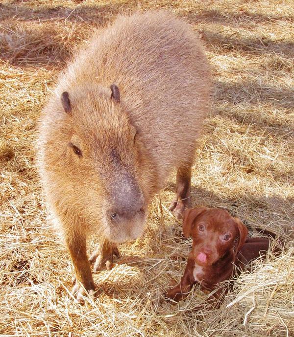 капибара и щенки фото 3 (600x689, 258Kb)