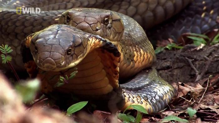 королевская кобра фото 2 (700x393, 237Kb)