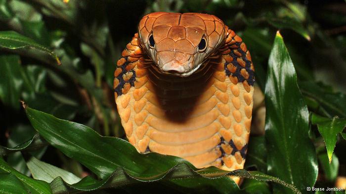 королевская кобра фото 4 (700x394, 43Kb)