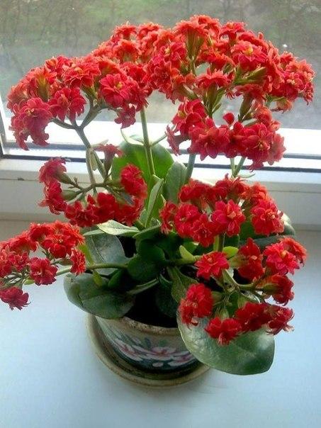 Цветение каланхоэ радует