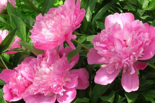 Вложения.  Что я заметила пионы посаженные на солнечном месте цветут обильнее, чем посаженные в тени.