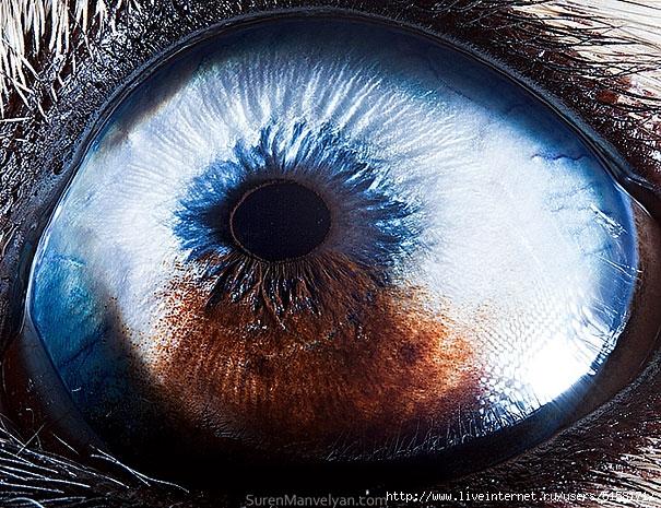 animal-eye-macro-suren-manvelyan-1 (605x465, 317Kb)