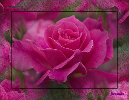 Роза-коралловая (450x350, 313Kb)