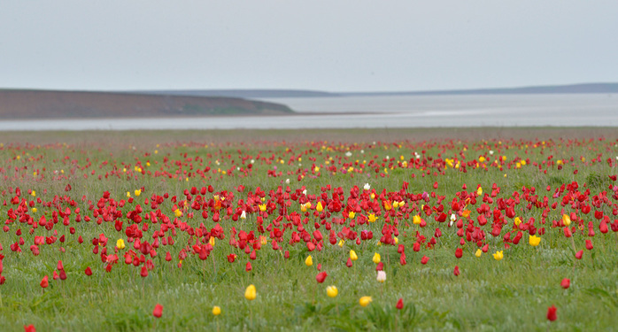 поле тюльпанов (700x375, 142Kb)