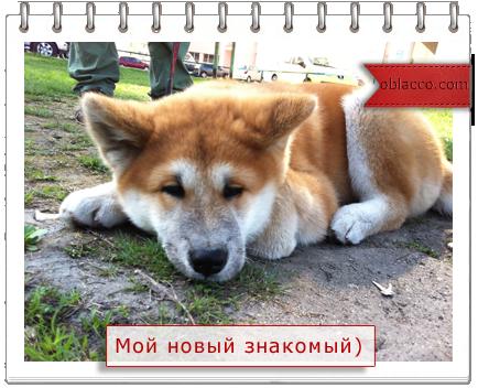 акита-ину Чак Киев
