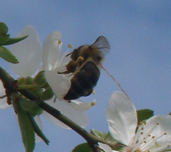 пчелка (337x300, 45Kb)