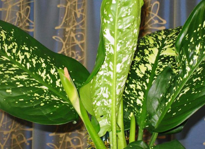 Цветы с крупными зелеными листьями