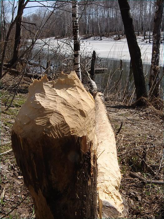 Дерево сваленное бобрами/1415502_DSC00014_kopiya (525x700, 236Kb)