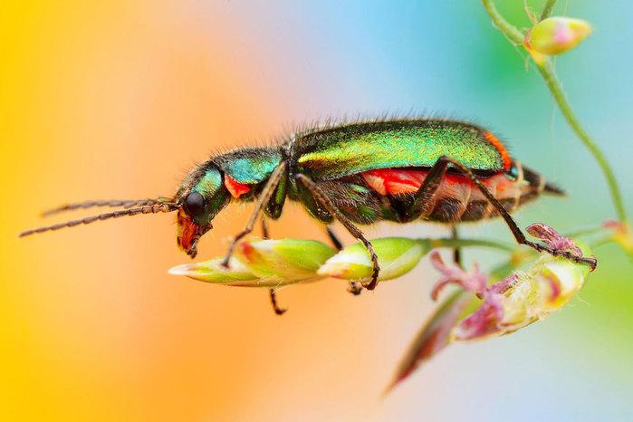 макро фото насекомых 6 (700x466, 63Kb)