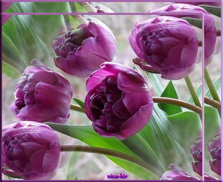 фиолетовые-тюльпаны (450x368, 280Kb)