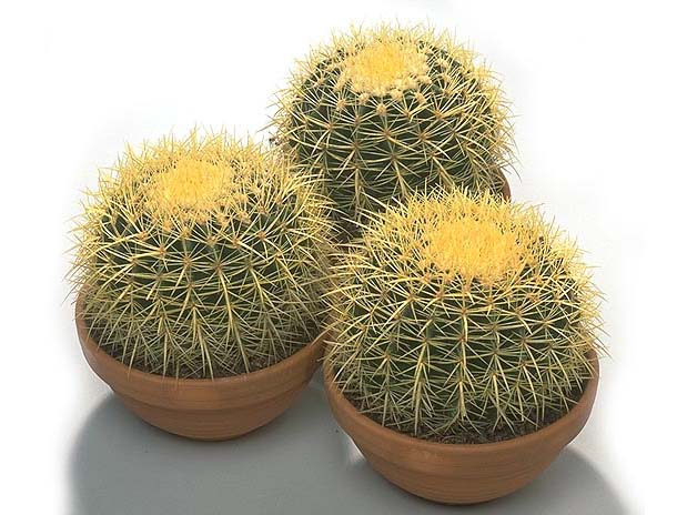 домашние цветы кактусы фото: