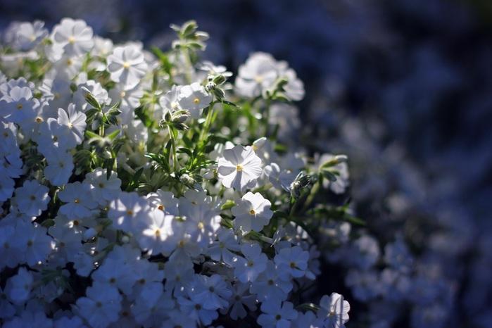 3303834_white_spring_11 (700x466, 90Kb)