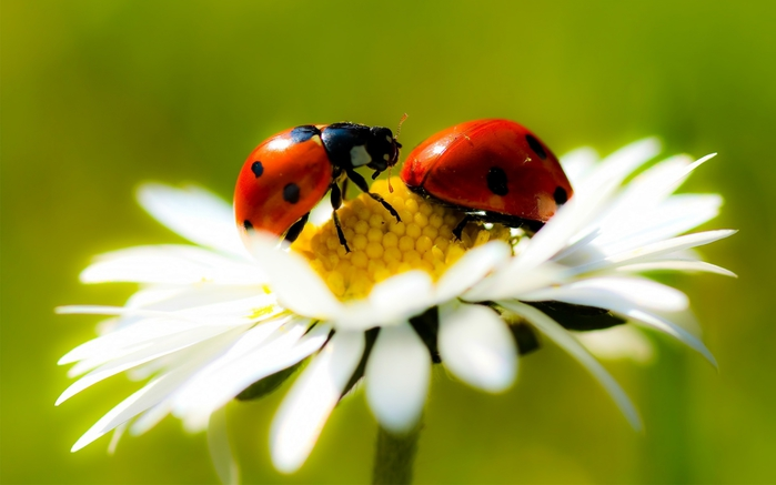 4216969_Mr_and_Mrs_Ladybug (700x437, 145Kb)