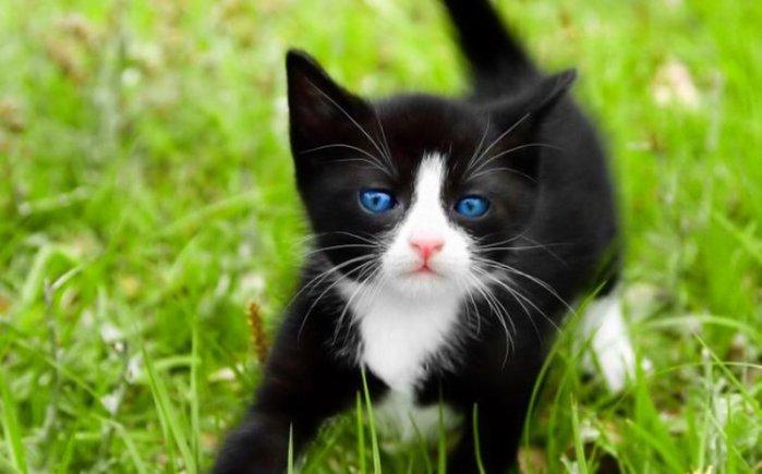 1366×768 макро кот кошка голубые