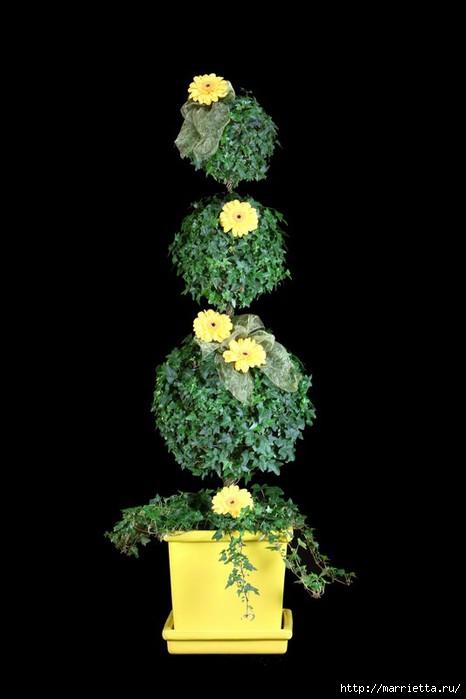 Плющ (Хедера хеликс). Потрясающие композиции для украшения дома и сада (8) (466x700, 89Kb)