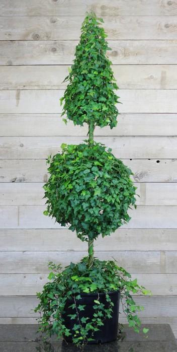 Плющ (Хедера хеликс). Потрясающие композиции для украшения дома и сада (14) (352x700, 74Kb)