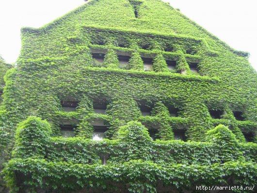 Плющ (Хедера хеликс). Потрясающие композиции для украшения дома и сада (39) (530x397, 199Kb)