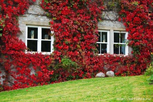 Плющ (Хедера хеликс). Потрясающие композиции для украшения дома и сада (41) (530x353, 159Kb)
