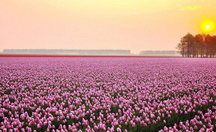 Поле тюльпанов ранним утром в Нидерландах (700x430, 97Kb)