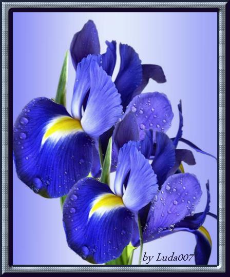 3427527_irisi (448x540, 384Kb)