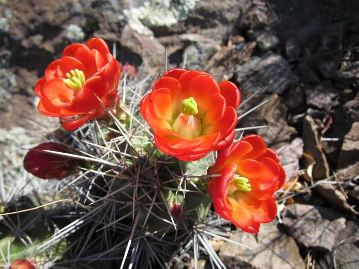 Цветущие кактусы.