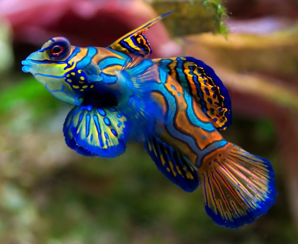 1.mandarinfish-600x492 (600x492, 64Kb)