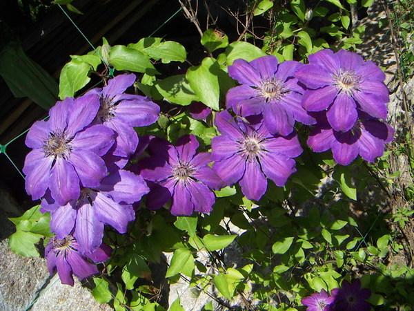 Вьющиеся растения фото и названия